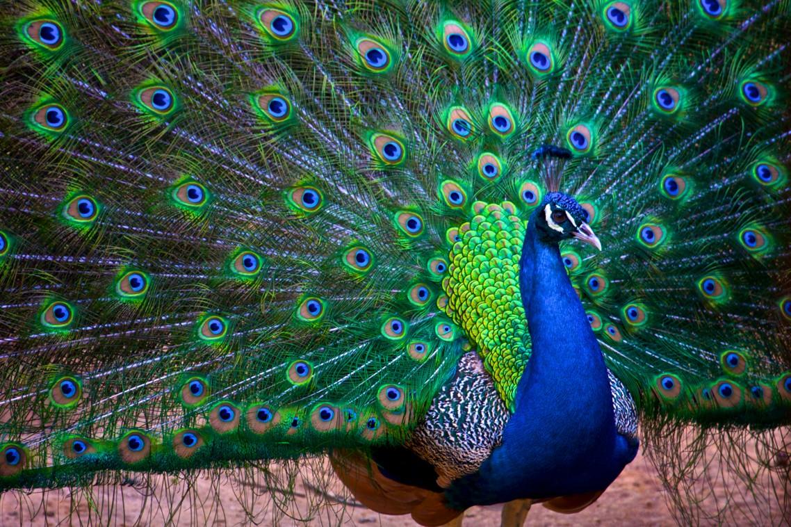 O pavão macho exibe sua plumagem para atrair a fêmea