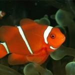 Peixe Palhaço - Classe Óssea.
