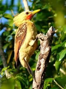 Pica-pau-de-cara-amarela