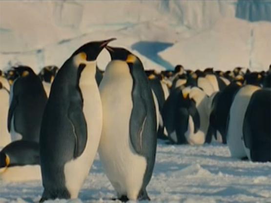 Dança dos pinguins