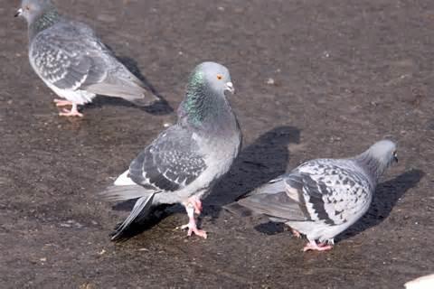 O pombo é considerado um praga urbana