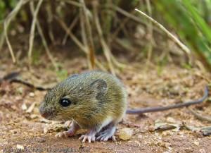 rato do mato
