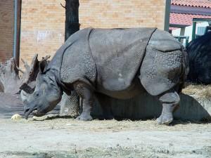rinoceronte javanês