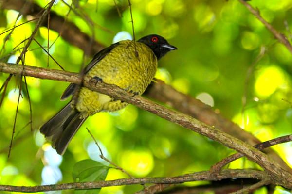 O sabiá pimenta é uma ave muito bonita quase extinta na Mata Atlântica.