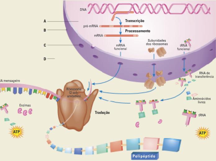 Esquema da síntese proteica
