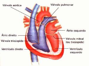 O sistema circulatório do mamífero é muito parecido com o das aves