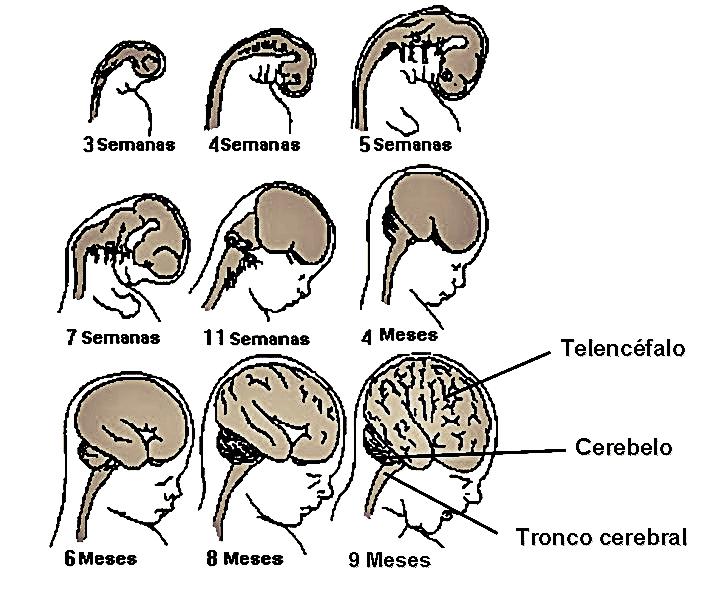 O sistema nervosos se forma entre 2 e 4 semanas de gestação