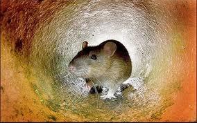 sonhando com rato