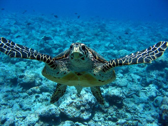 Tartaruga Marinha (Foto: Divulgação)