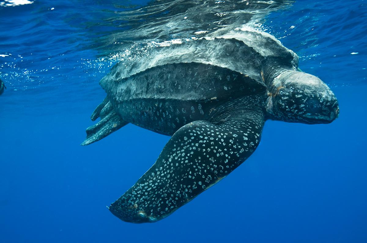 Tartaruga de Couro (foto: reprodução)