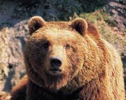 urso selvagem